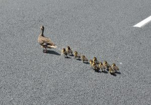 Duck_&_Duckling's_crossing_the_road_(15367868697)